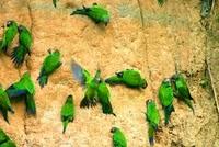 Amazonie-perou-collpaloros